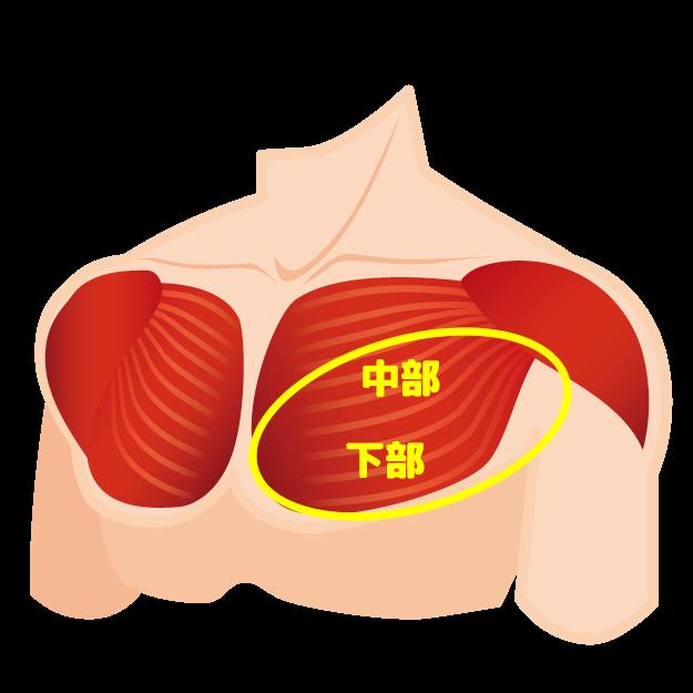 大胸筋中部~下部